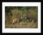 Chital Deer Bucks Fighting by Corbis
