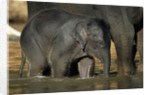 Baby Elephant with Young Calf by Corbis