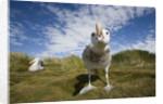 Wandering Albatrosses by Corbis