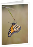 Butterfly by Corbis