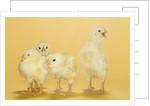 Chicks by Corbis