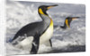 King Penguins in Surf on South Georgia Island by Corbis
