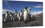 King Penguin Colony on South Georgia Island by Corbis
