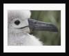 Gray-Headed Albatross Chick on South Georgia Island by Corbis