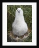 Gray-headed Albatross Chick on South Georgia Island by Corbis