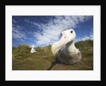 Wandering Albatross on South Georgia Island by Corbis