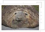 Elephant Seal on South Georgia Island by Corbis