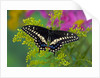 Female Black Swallowtail Butterfly on Colorful Flowers by Corbis