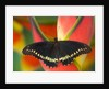 Polydamas Swallowtail Butterfly on Heliconia Flower by Corbis