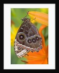 Blue Morpho Resting on an Orange Asiatic Lily by Corbis