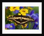 Thoas Swallowtail Resting on Irises and Daisies by Corbis