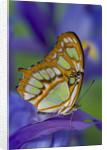 Malachite Butterfly Resting on an Iris by Corbis
