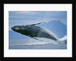 Breaching Humpback Whale by Corbis