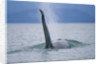 Dorsal Fin of Orca Whale in Alaska by Corbis