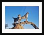 Cheetahs by Corbis