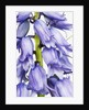 Bluebell by Corbis