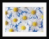Daisy Blossoms by Corbis