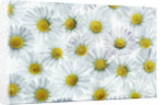 Daisies by Corbis