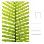 Fern Leaf by Corbis