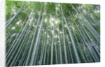 Grove of Japanese Bamboo by Corbis