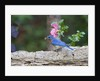 Eastern Bluebird by Corbis