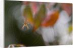 Close-up of Spider on Spiderweb by Corbis