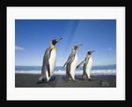 King Penguins Walking on Beach by Corbis