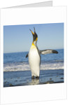 King Penguin Coming Out of Sea by Corbis