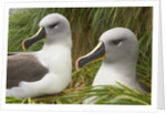 Pair of Mated Grey-Headed Albatross Adults by Corbis