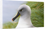 Grey-Headed Albatross by Corbis