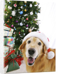 Golden Retriever with Santa Hat by Christmas Tree