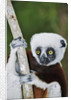 Coquerel's Sifaka by Corbis