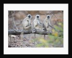 Gray Langurs Perched on Tree Limb by Corbis