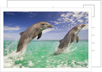 Breaching Dolphins in Mid-air by Corbis