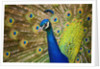 Peacock with Tail Fanned by Corbis