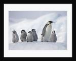 Emperor Penguins in Antarctica by Corbis