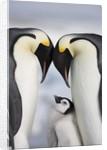 Emperor Penguins and Chick in Antarctica by Corbis