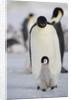 Emperor Penguin and Chick in Antarctica by Corbis