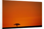Lone Acacia Tree at Sunrise by Corbis
