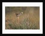 Female Gerenuk behind Bush by Corbis