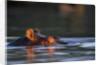 Hippopotamus in River by Corbis