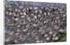 Wildebeest Migration by Corbis