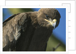 Close-up of Tawny Eagle by Corbis