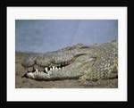 Close-up of Nile Crocodile by Corbis