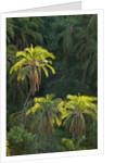 Palm Trees Along Zambezi River by Corbis