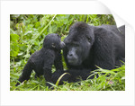 Baby Gorilla Kisses Silverback Male by Corbis