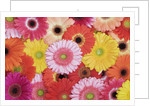 Barberton Daisies by Corbis