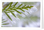 Close-Up of Ice-Covered Conifer by Corbis