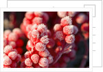 Frost-Covered Berries by Corbis