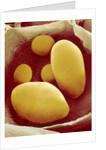 Starch Grains of Potato Cells by Corbis